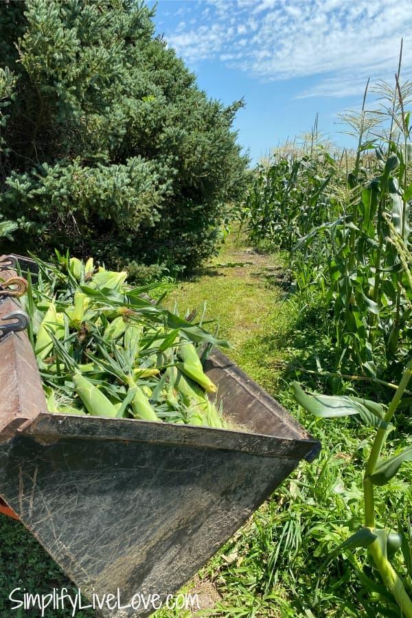 tractor bucket full of sweet corn (1)