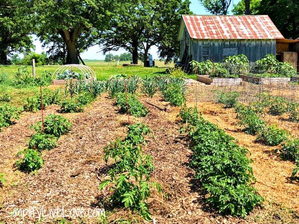 mulched potato rows