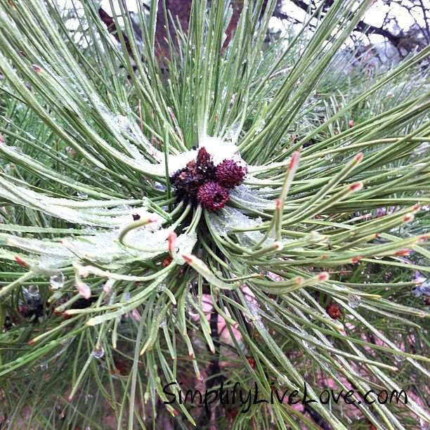 snow in an evergreen tree at Garden of the Gods