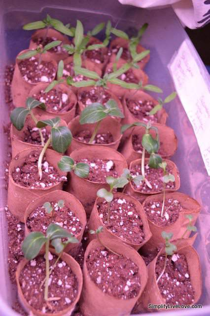 seedlings stared in tp rolls
