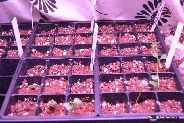 lings in a plastic seed starter