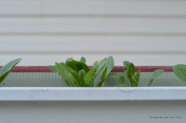 spinach in a gutter garden