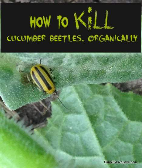 how to kill cucumber beetles organically