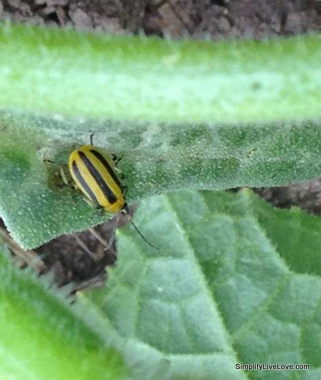 Here's what a cucumber beetle looks like - keep and eye out for these pests! They're cute but they're SO destructive!