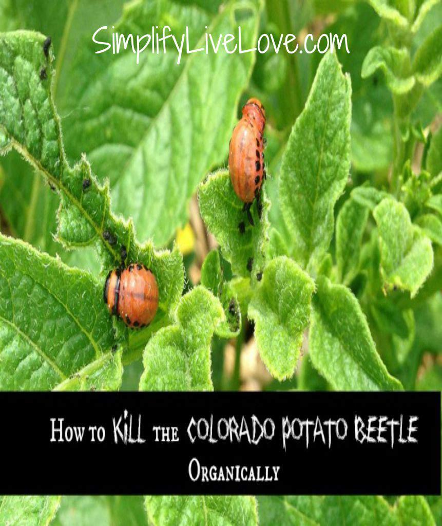 how to kill potato bugs