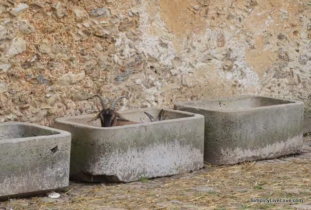 goat at versailles