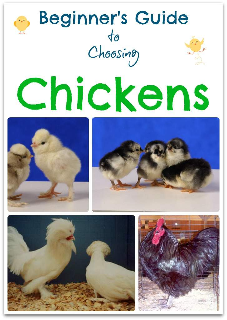 Beginner's Guide to Choosing Chickens