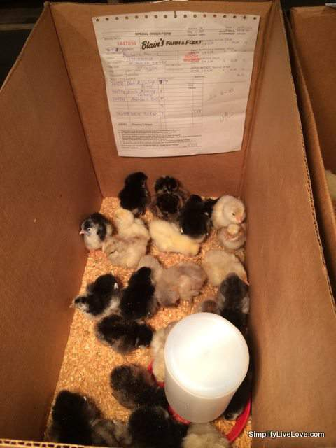 baby chick order