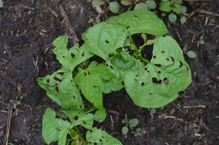 beans June garden update simplifylivelove