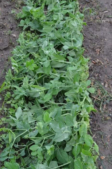 peas june garden update