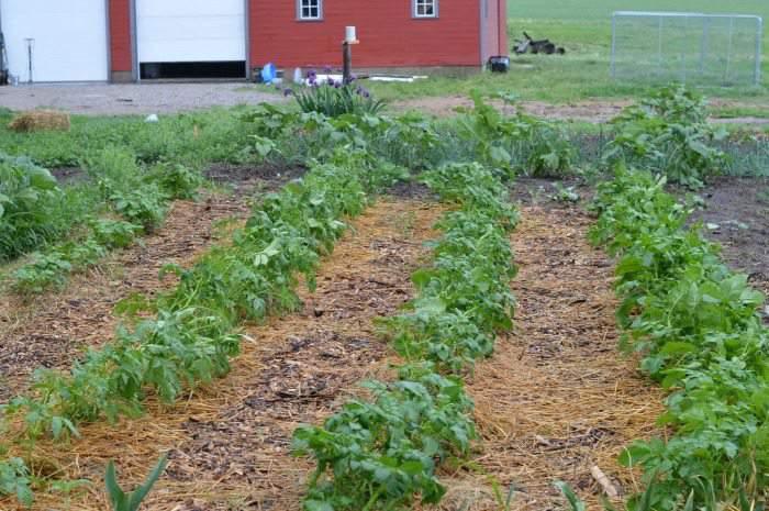 potatoes June garden update