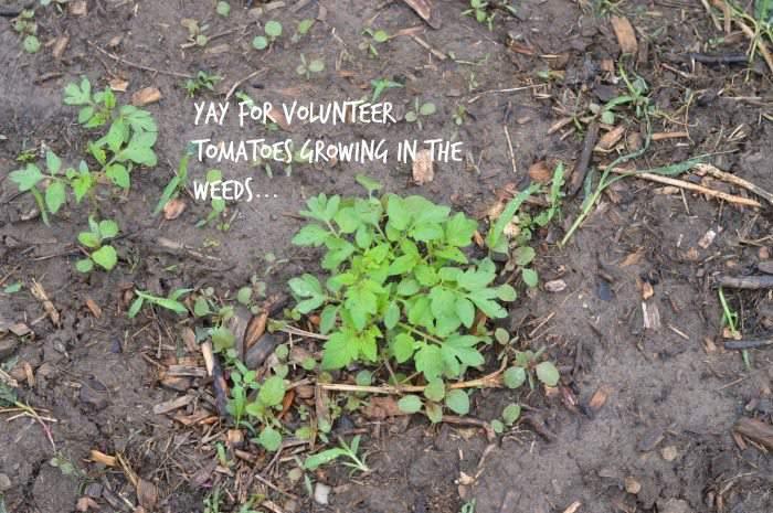 volunteer tomatoes June garden update SimplifyLiveLove