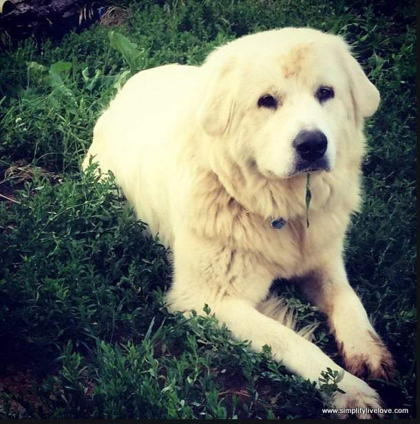 Nora the Great Pyrenees, SimplifyLiveLove