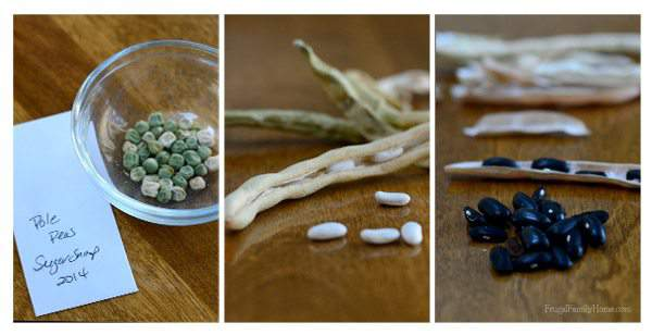 #TGP Tuesday Garden Party Seed-Saving-Peas-and-Beans