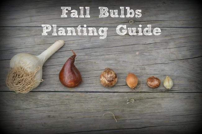 Fall-Bulbs-Planting-Guide