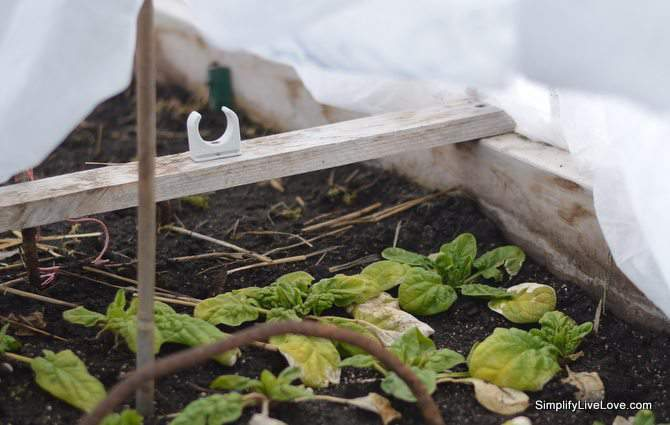 5 Ways to Live More Sustainably-spinach growing in hoop house