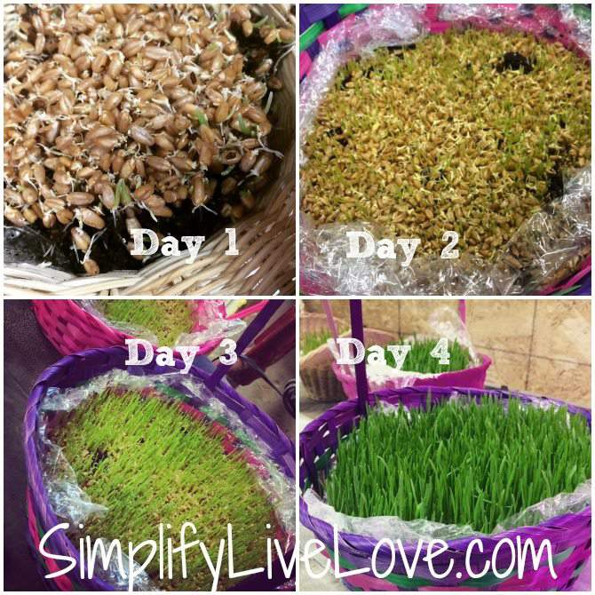 Grow your own Easter Wheat Grass Basket