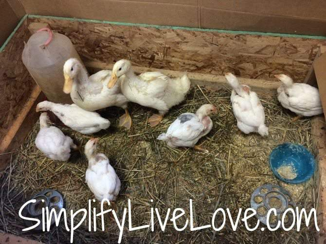 Rescue ducks and chicks and why you shouldn't buy live animals this spring