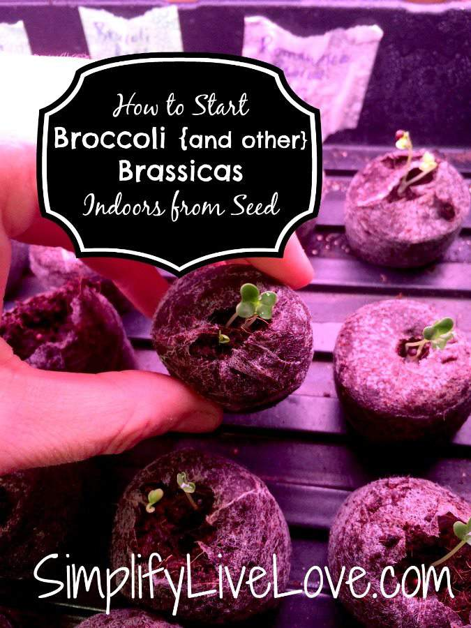 Tips for Starting Broccoli & other Brassicas Indoors from Seed