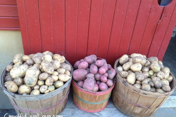 Growing Potatoes the No-Dig Method