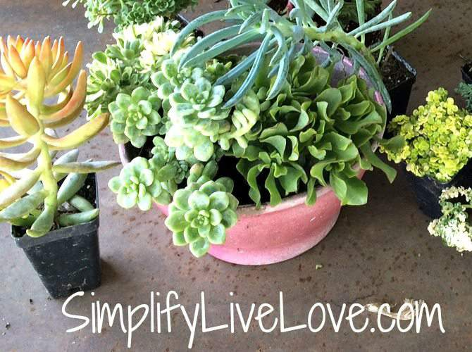 Succulent Planter DIY - close up of succulents