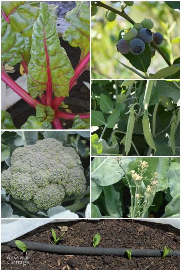 An Oregon Cottage June Vegetables