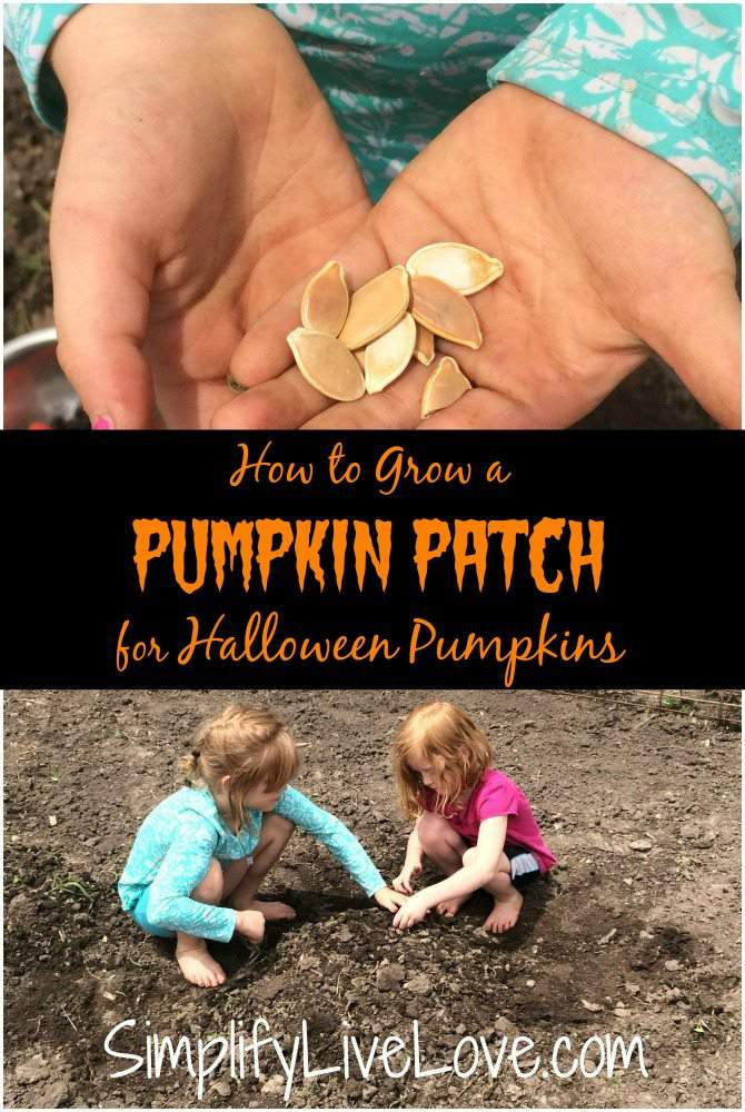 How to Grow a Pumpkin Patch for Halloween Pumpkins