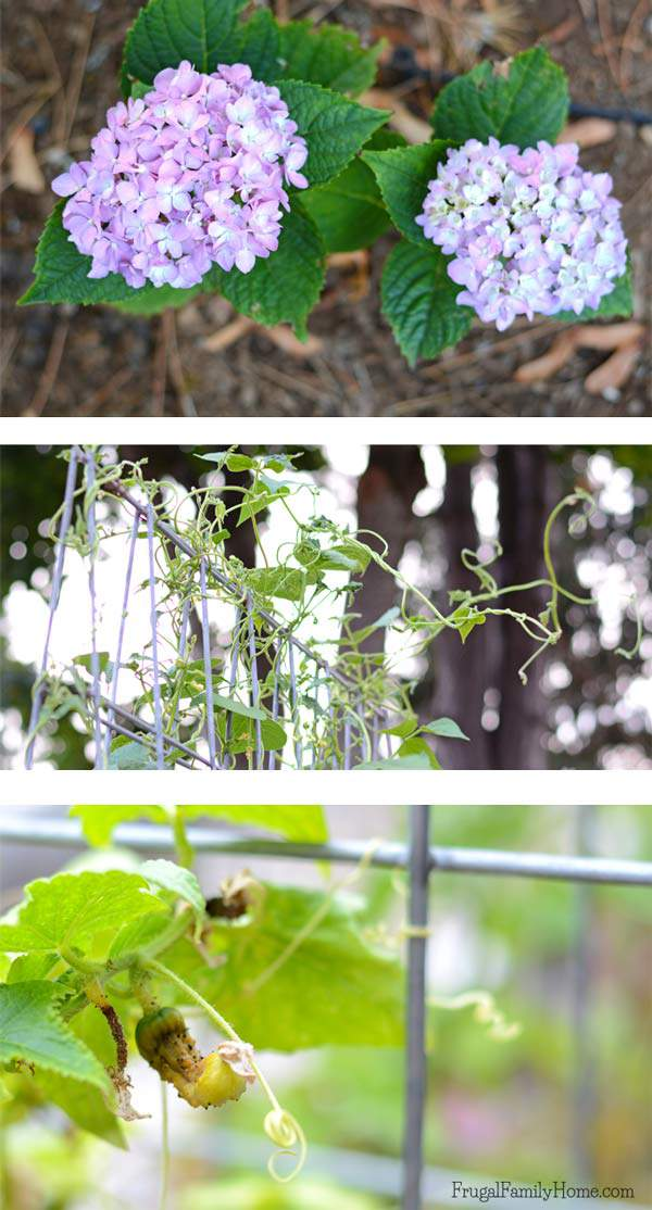 Hydrangea,-Beans-and-Cucumbers