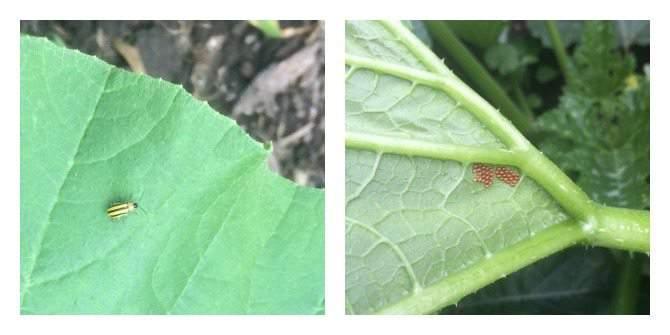 zucchini foes - cucmber beetle and squash bug eggs 7.14 #TGP SimplifyLiveLove