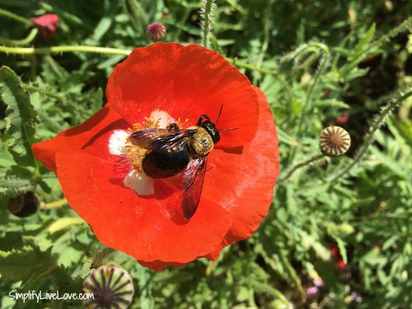 bee inside a poppy