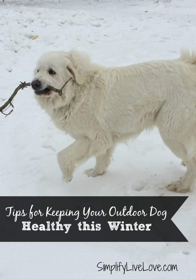 Keep Your Outdoor Dog Healthy this Winter with #BayerExpertCare Great Pyrenees in the snow from simplifylivelove