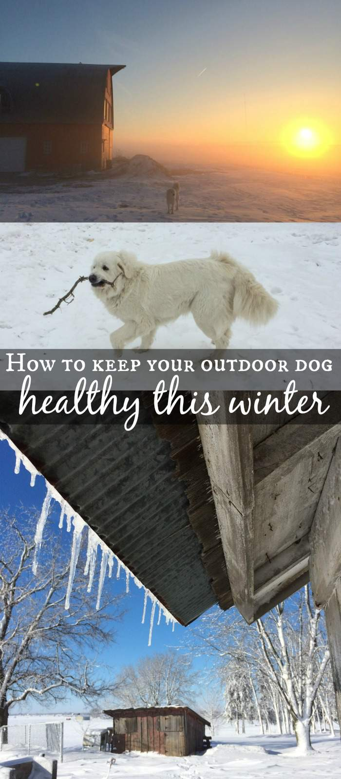 Make sure you do these things when it's cold outside to keep your outdoor dog healthy this winter.