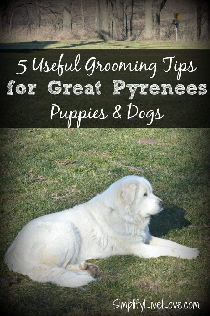 5 Useful Tips for Grooming Great Pyrenees Puppies #BayerExpertCare from SimplifyLiveLove.com