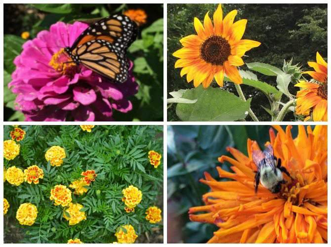 bee friendly flowers to add to your garden: sunflowers, zinnias, marigolds
