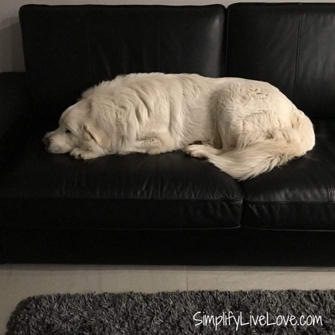 What you must know about feeding your great pyrenees for their health and happiness.