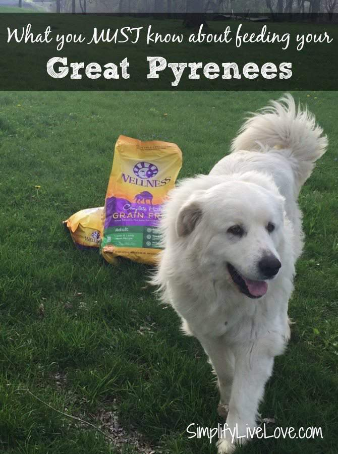 What you must know about feeding your Great Pyrenees. #GrainFreeForMe #ad