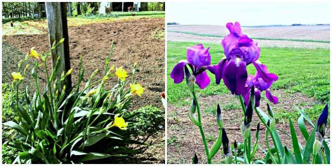 Iris flanking my garden