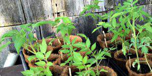 5 Must Know Tips for Transplanting Tomato Plants