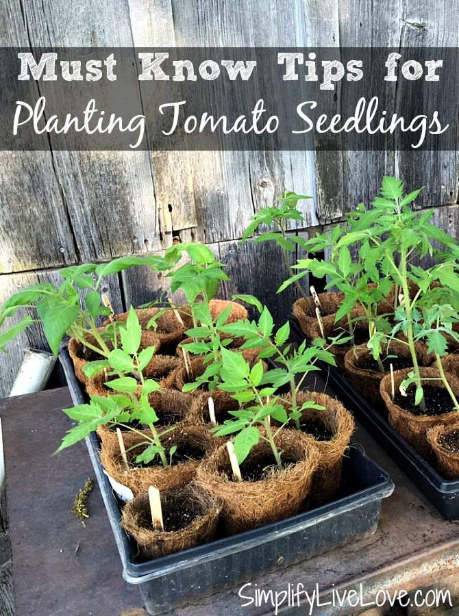 Must know tips for planting tomato seedlings