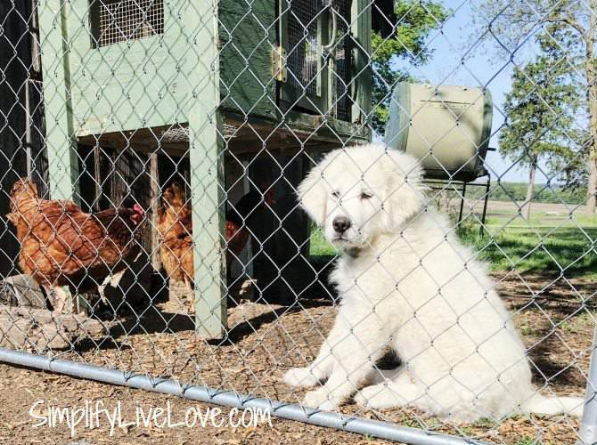 Let your new puppy and older dog sniff each other through the fence when first introducing them to each other