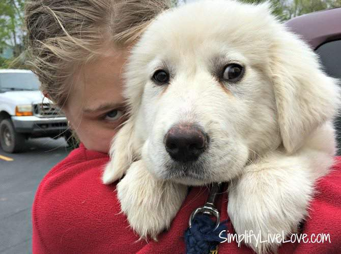 Meet Harry the Great Pyr puppy