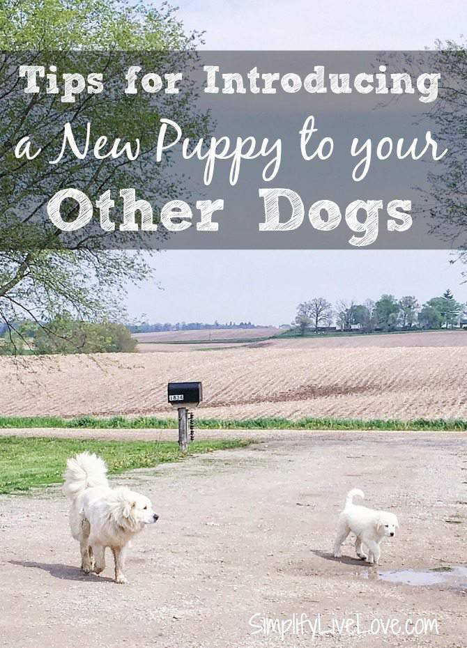 Tips for Introducing a New Puppy to Older Dogs