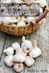 beginner's guide to growing garlic