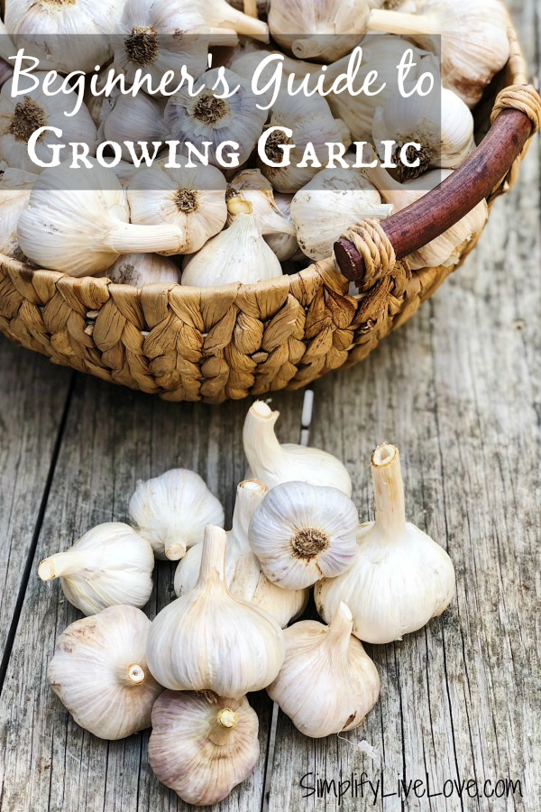beginner's guide to growing garlic
