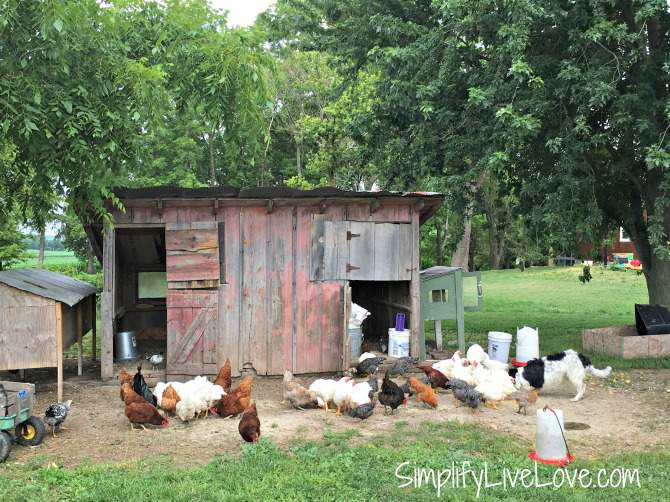 chicken coop and flock