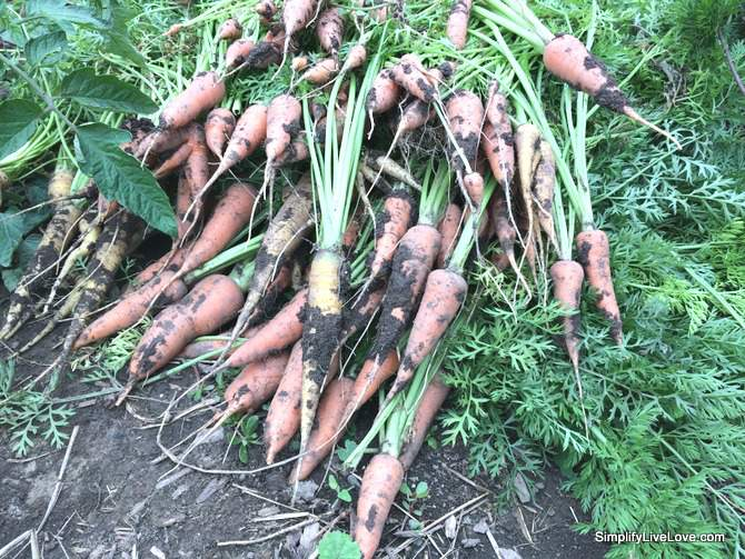 farm to table carrots