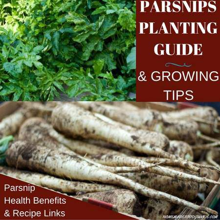 parsnips growing guide