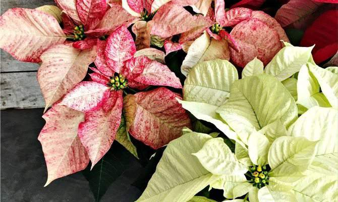 Poinsettia Care Tips for Beautiful Flowers All Season
