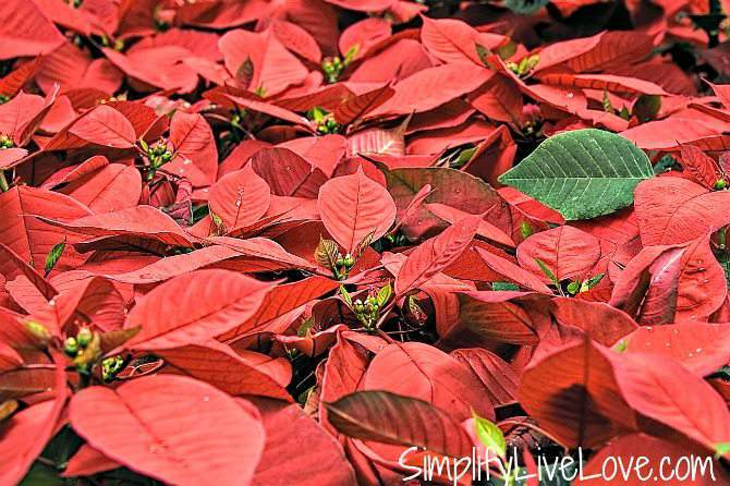 Keep Your Poinsettias Beautiful with these 5 Must Know Tips