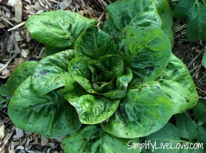 Forellensuss Lettuce